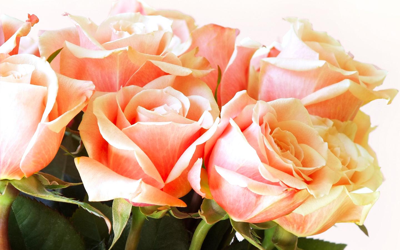 11675 скачать обои Растения, Цветы, Розы - заставки и картинки бесплатно