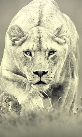 39199 download wallpaper Animals, Lions screensavers and pictures for free