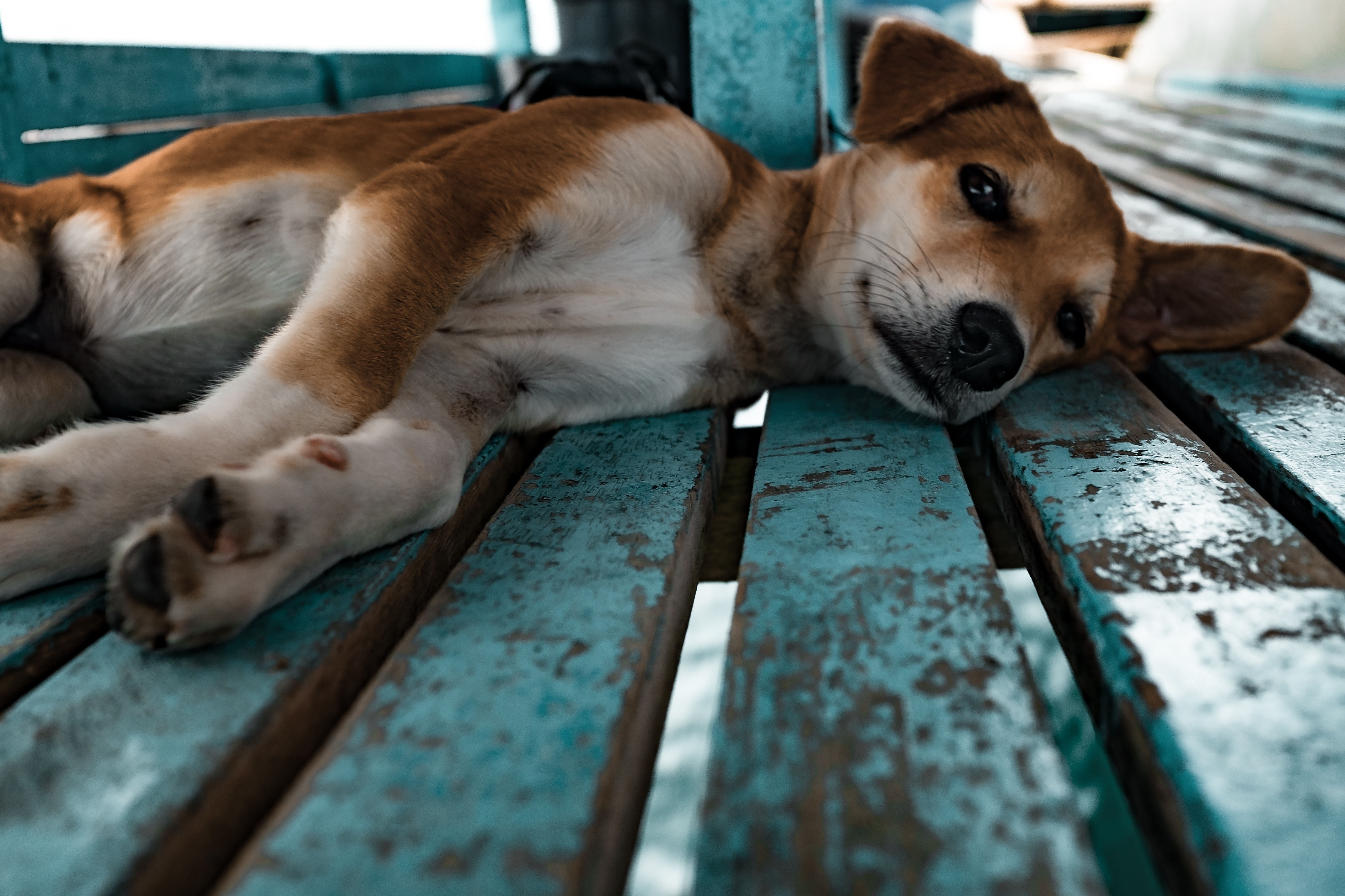86621 download wallpaper Animals, Shiba Inu, Siba Inu, Dog, Puppy, Lies screensavers and pictures for free