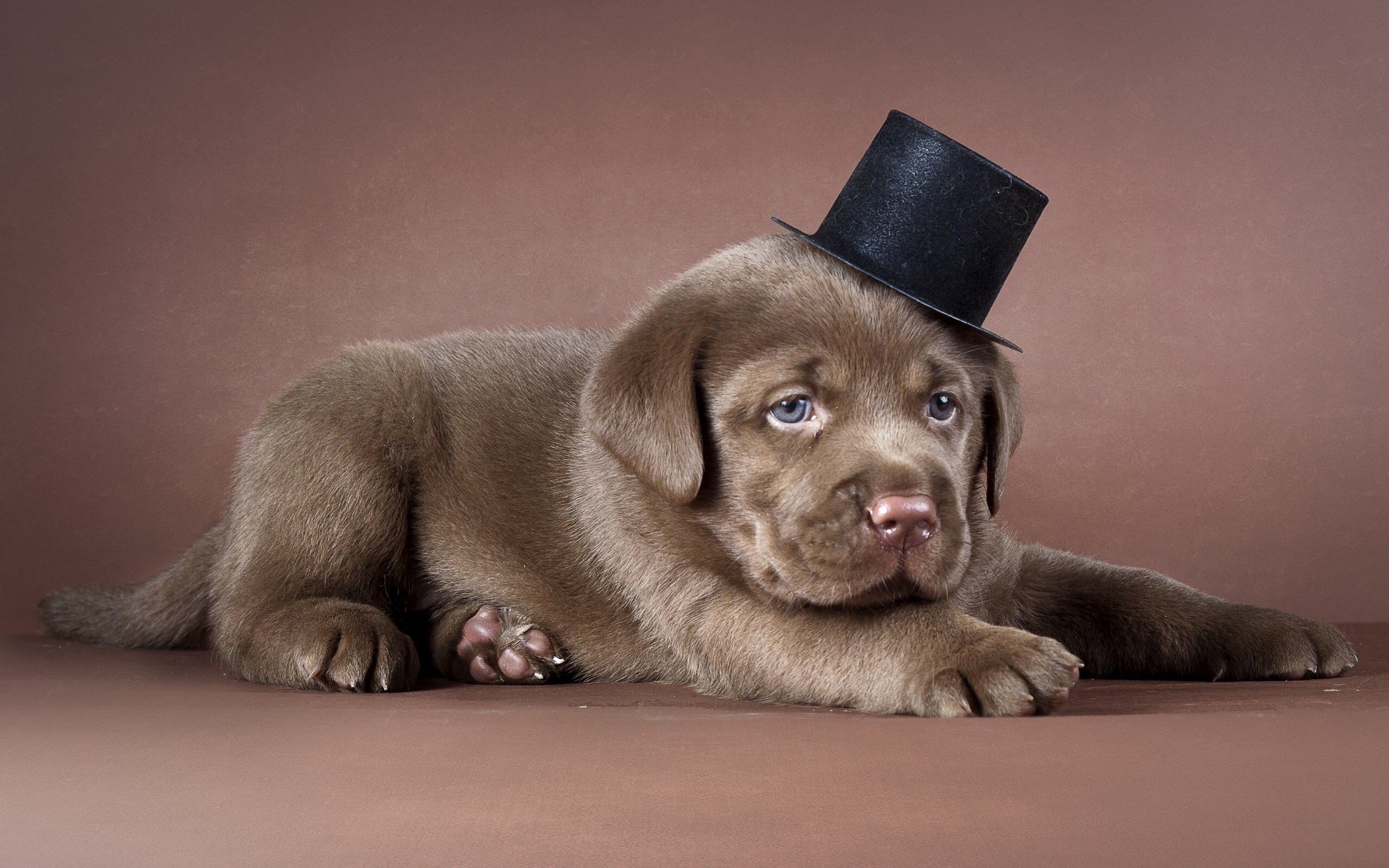 110472 Screensavers and Wallpapers Puppy for phone. Download Animals, Dog, Puppy, Labrador, Hat pictures for free