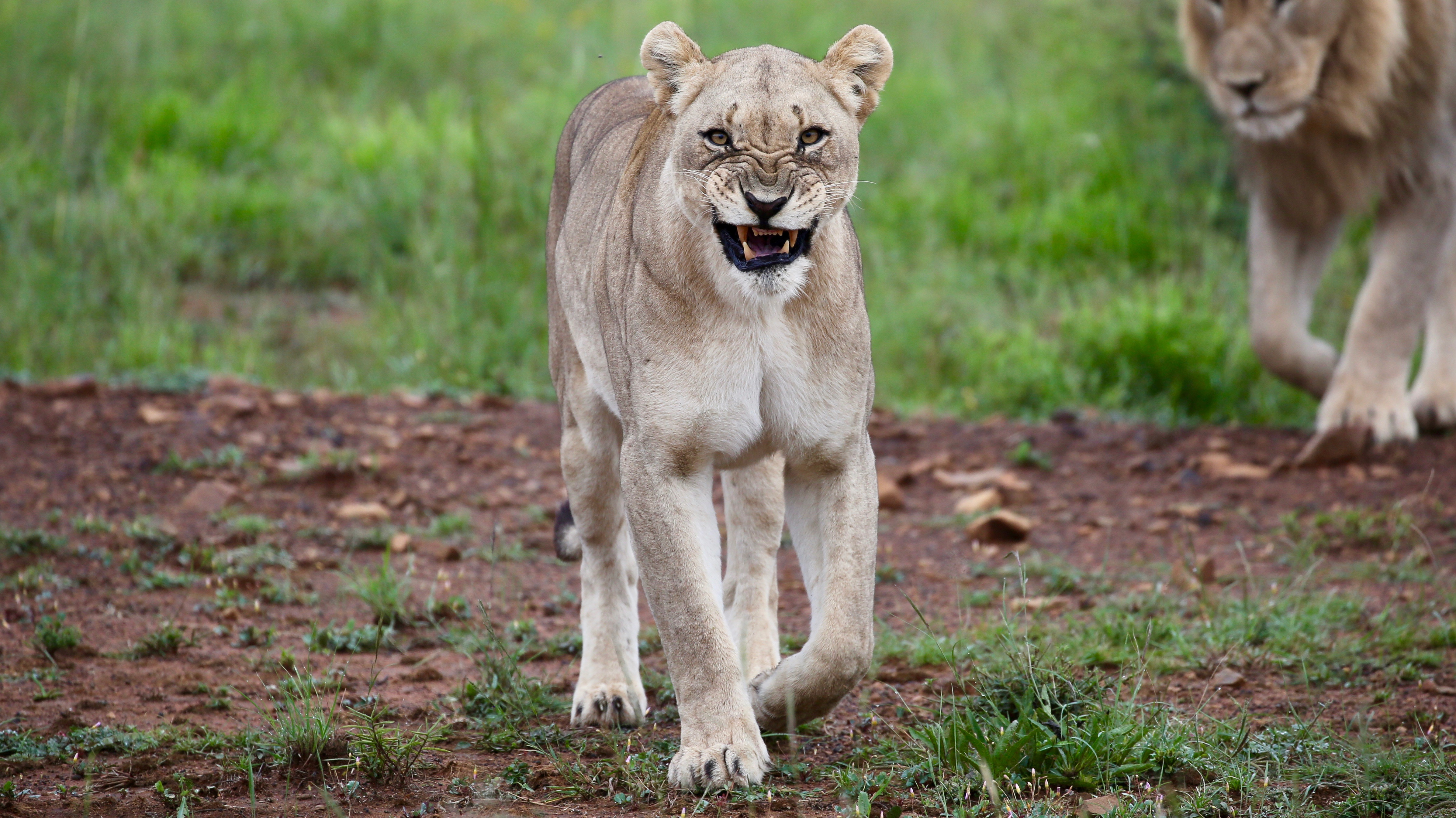 92408 download wallpaper Animals, Lioness, Big Cat, Rage screensavers and pictures for free