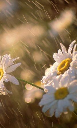 45128 télécharger le fond d'écran Plantes, Fleurs, Camomille - économiseurs d'écran et images gratuitement
