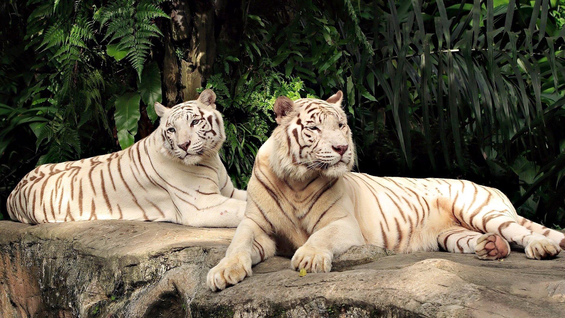 119351 Hintergrundbild herunterladen Tiere, Bäume, Tigers, Sich Hinlegen, Liegen, Albino, Raubtiere - Bildschirmschoner und Bilder kostenlos