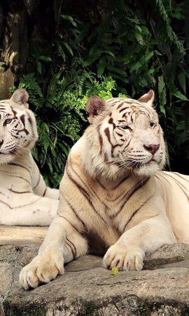 119351壁紙のダウンロード動物, アルビノ, 横になります, 嘘, 木, 捕食者, 捕食 者, 阪神タイガース-スクリーンセーバーと写真を無料で