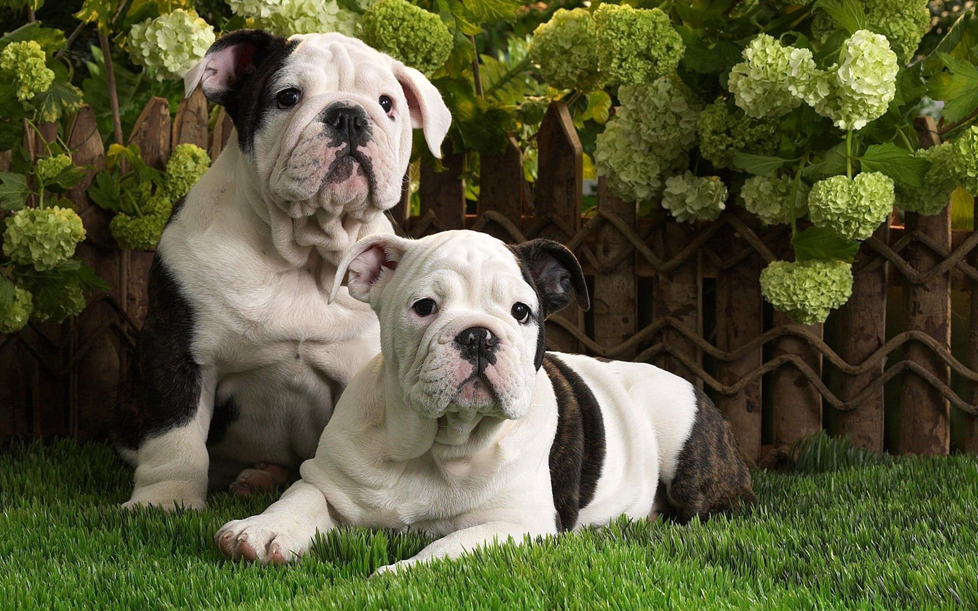 136370 download wallpaper Animals, Dogs, Bulldog, Spotted, Spotty, Grass, To Lie Down, Lie, Couple, Pair screensavers and pictures for free