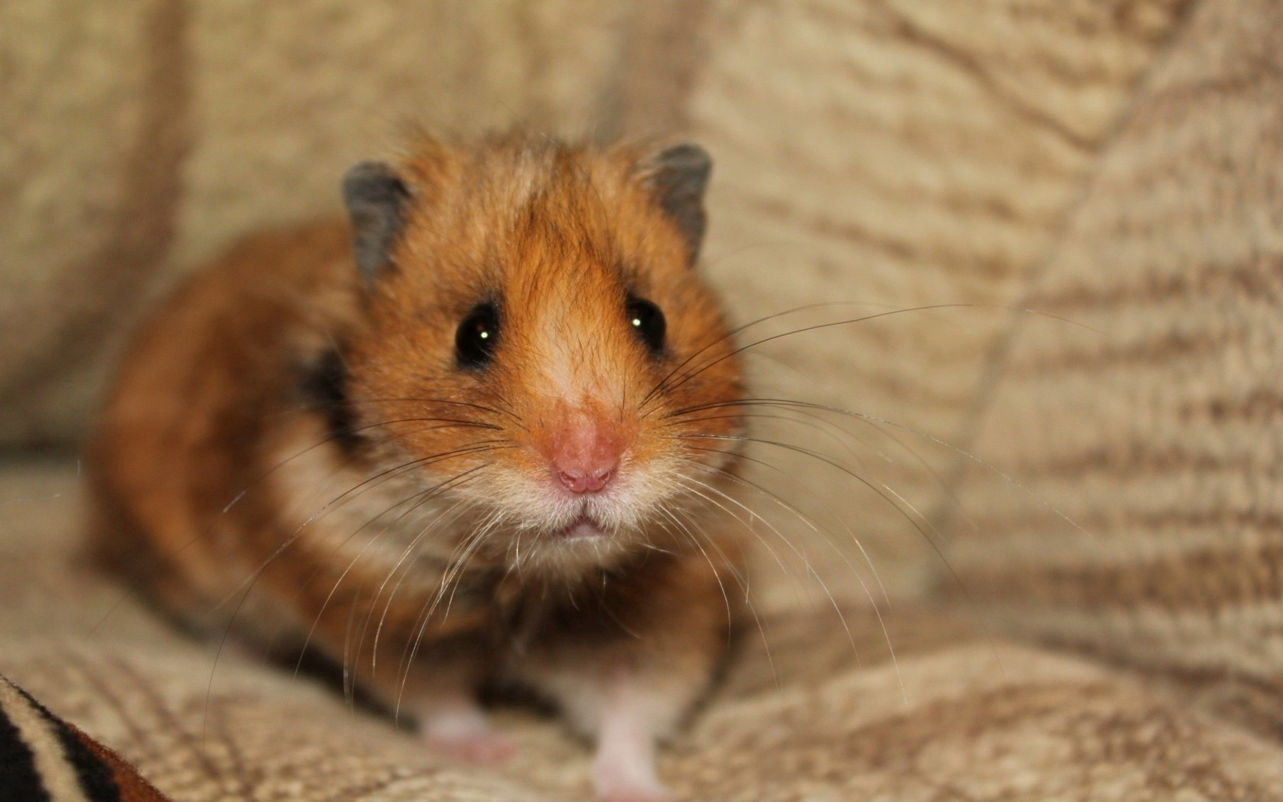 151834 Screensavers and Wallpapers Sit for phone. Download Animals, Sit, Sight, Opinion, Fright, Hamster pictures for free