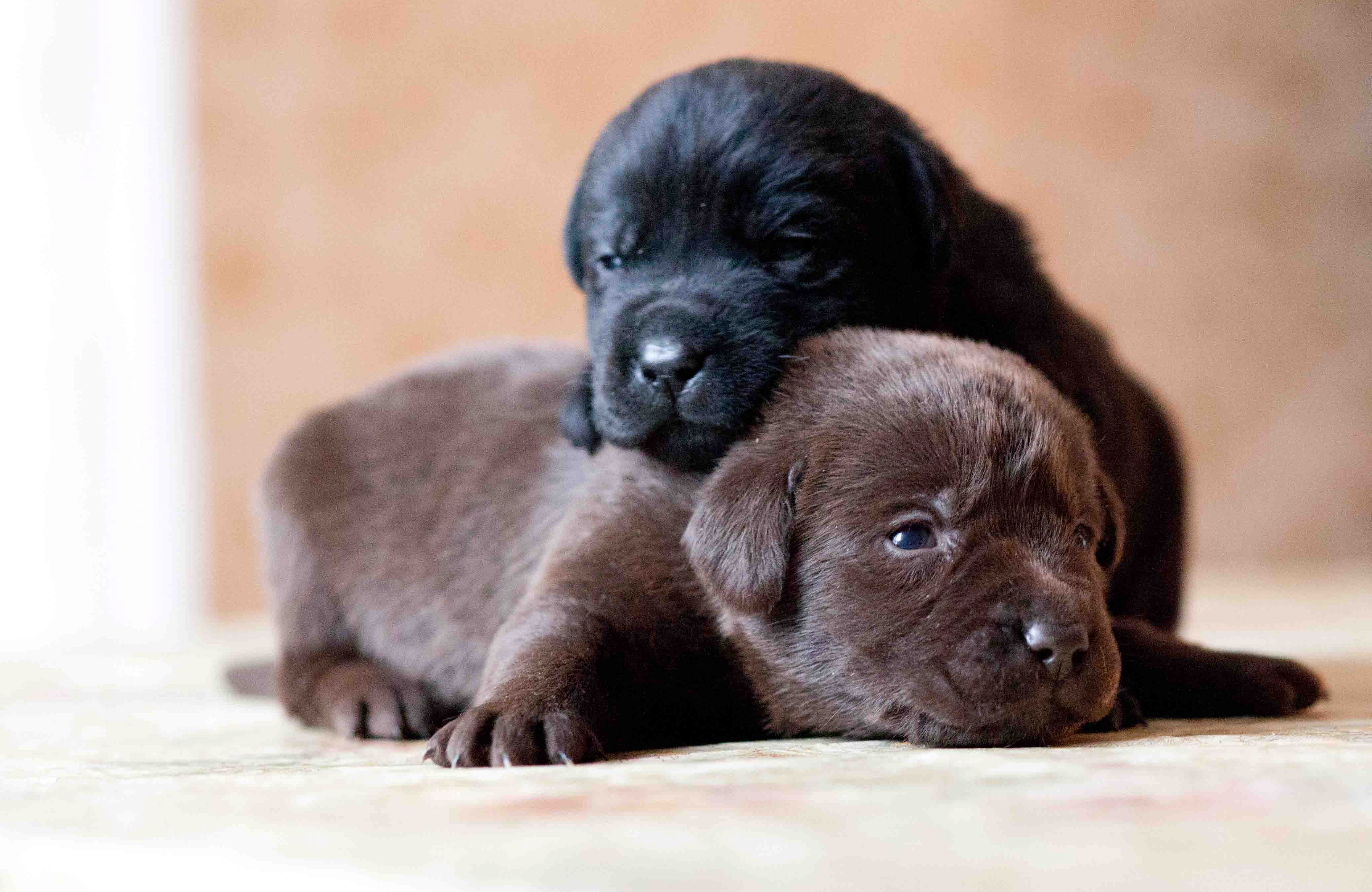 116833 download wallpaper Animals, Labrador, Retriever, Dogs, Puppies, Couple, Pair screensavers and pictures for free