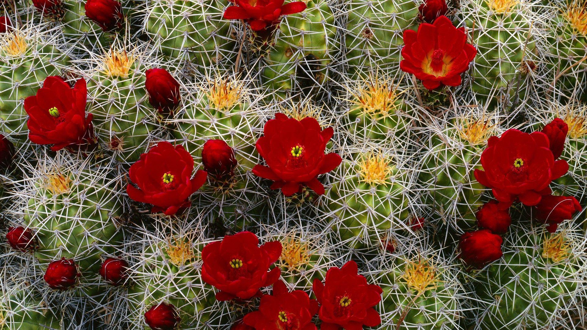81719 descargar fondo de pantalla Flores, Cactus, Cacto, Flor, Florecer, Floración, Cogollos, Brotes, Aguja: protectores de pantalla e imágenes gratis