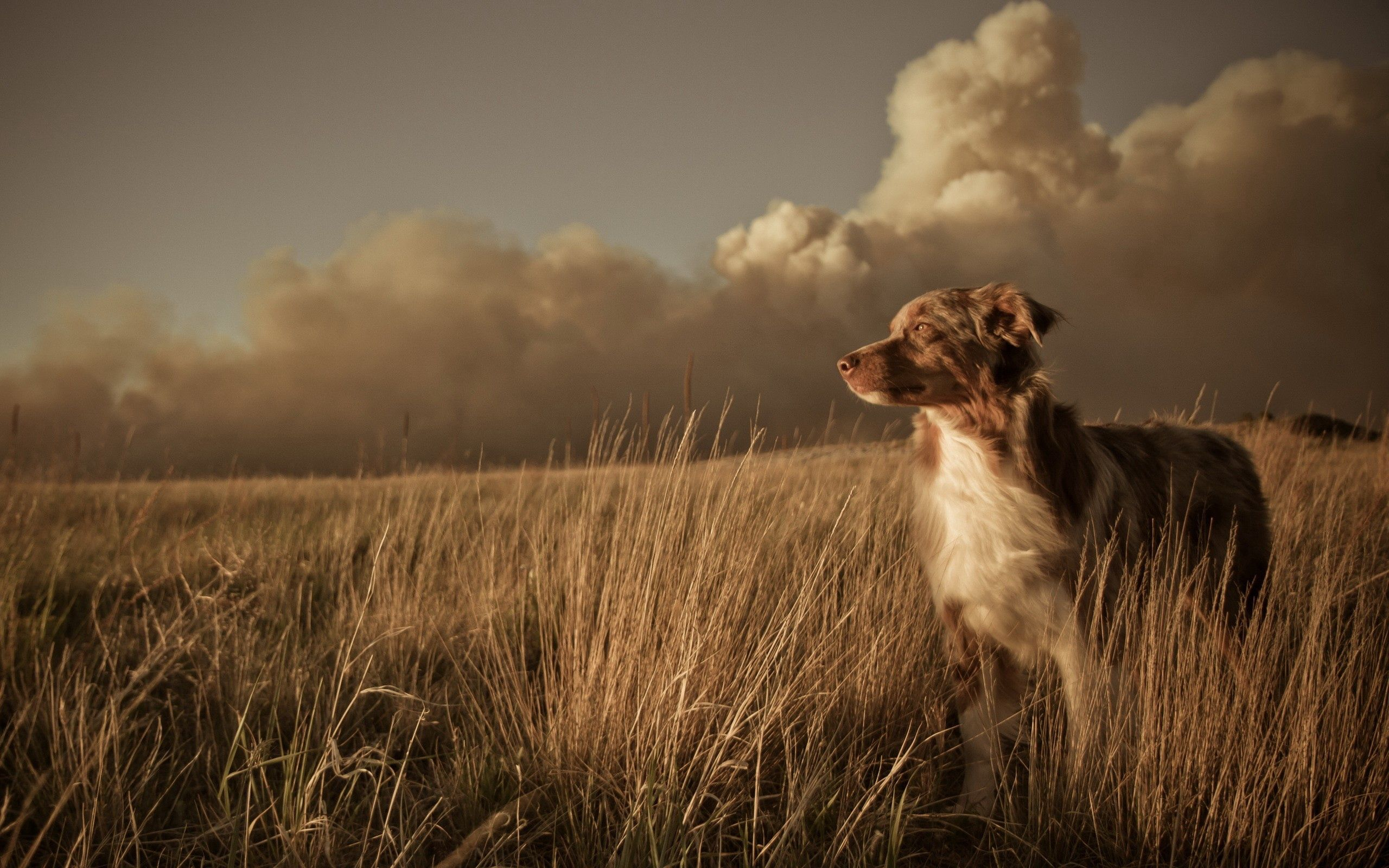 156584 Screensavers and Wallpapers Dog for phone. Download Animals, Dog, Field, Grass, Wind, Clouds pictures for free