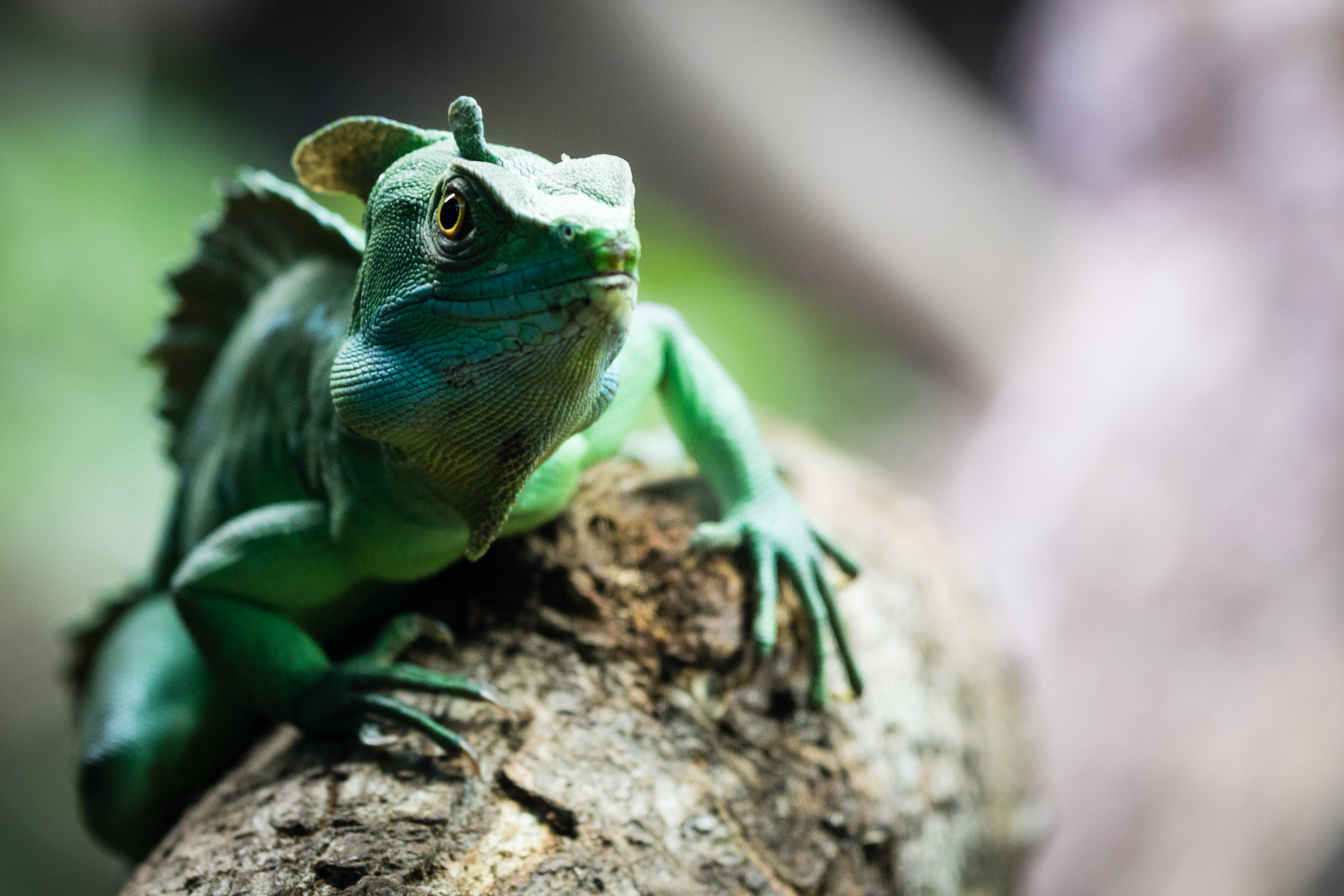 61566 download wallpaper Animals, Chameleon, Reptile, Nice, Sweetheart screensavers and pictures for free