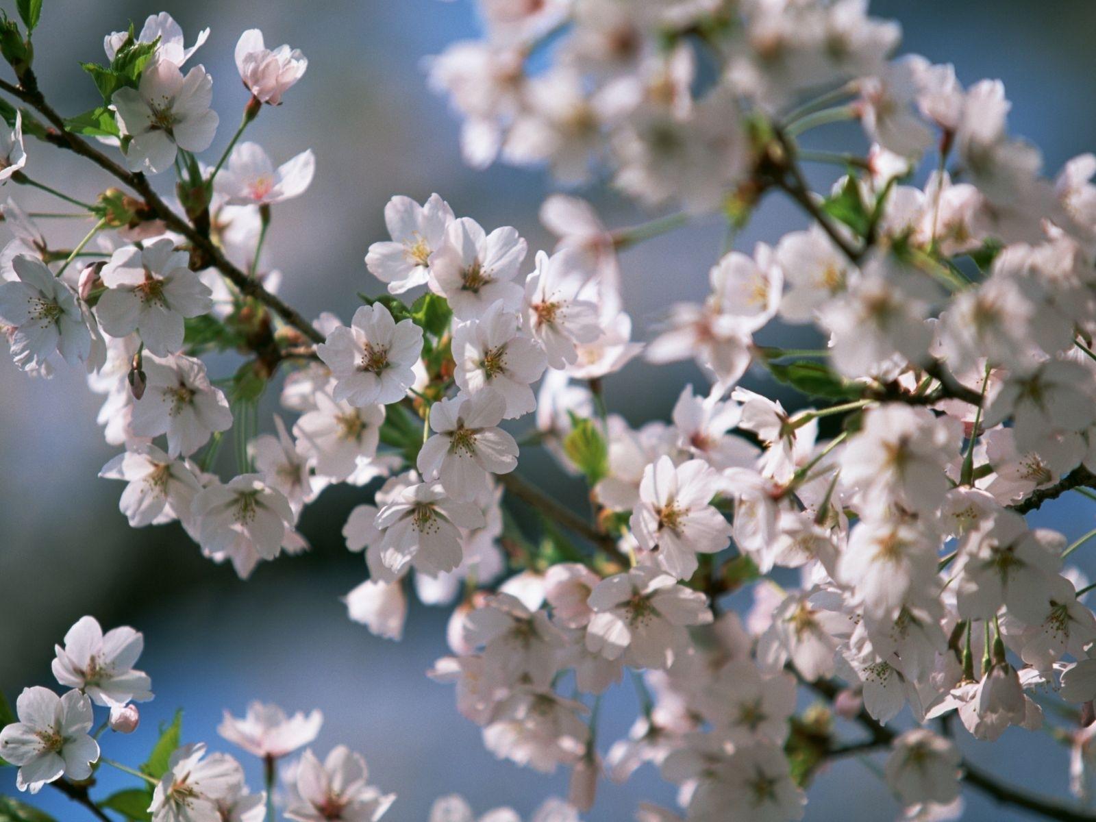 7699 скачать обои Растения, Цветы, Вишня - заставки и картинки бесплатно