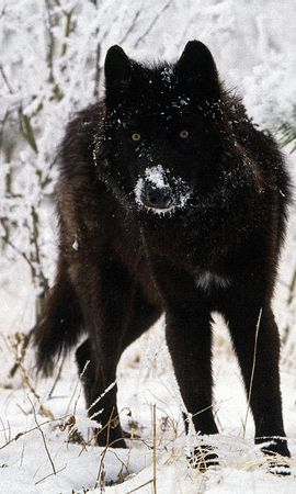 8279 download wallpaper Animals, Wolfs, Winter screensavers and pictures for free