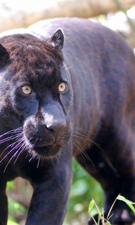 8797 download wallpaper Animals, Panthers screensavers and pictures for free