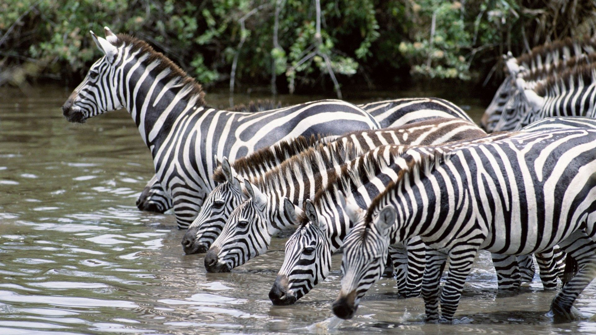 87925 download wallpaper Animals, Water, Drink, Thirst, Herd, Zebra screensavers and pictures for free