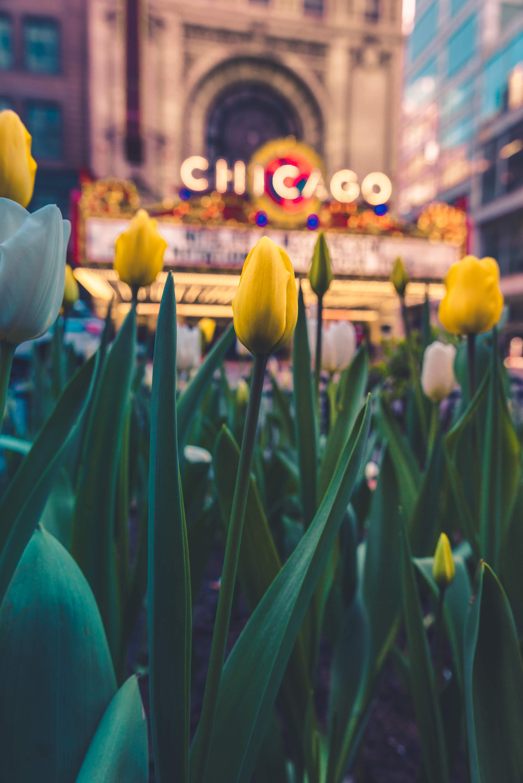 134236 скачать обои Цветы, Желтый, Клумба, Цветение, Тюльпаны - заставки и картинки бесплатно
