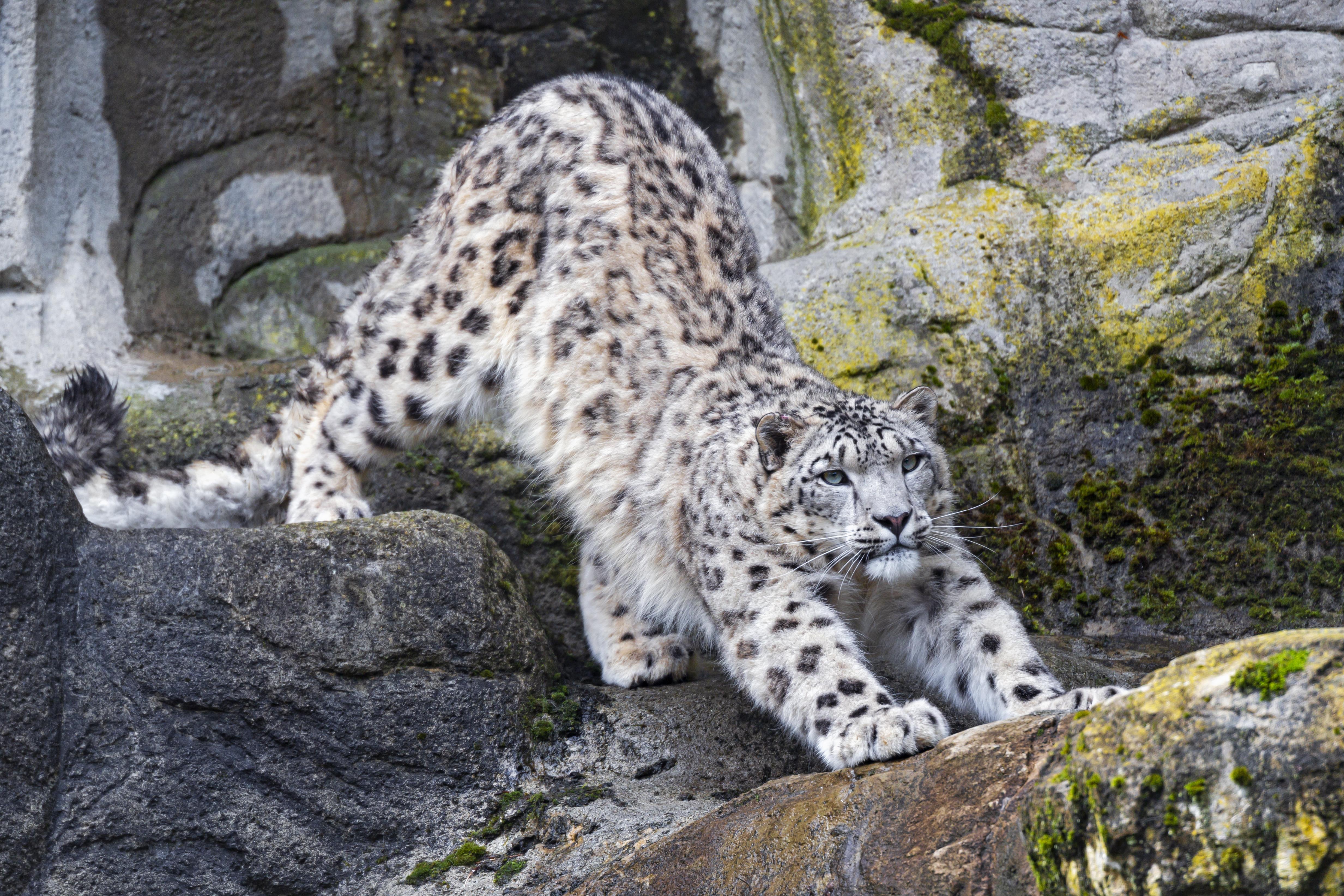 55253 скачать обои Животные, Большая Кошка, Хищник, Скалы, Снежный Барс - заставки и картинки бесплатно