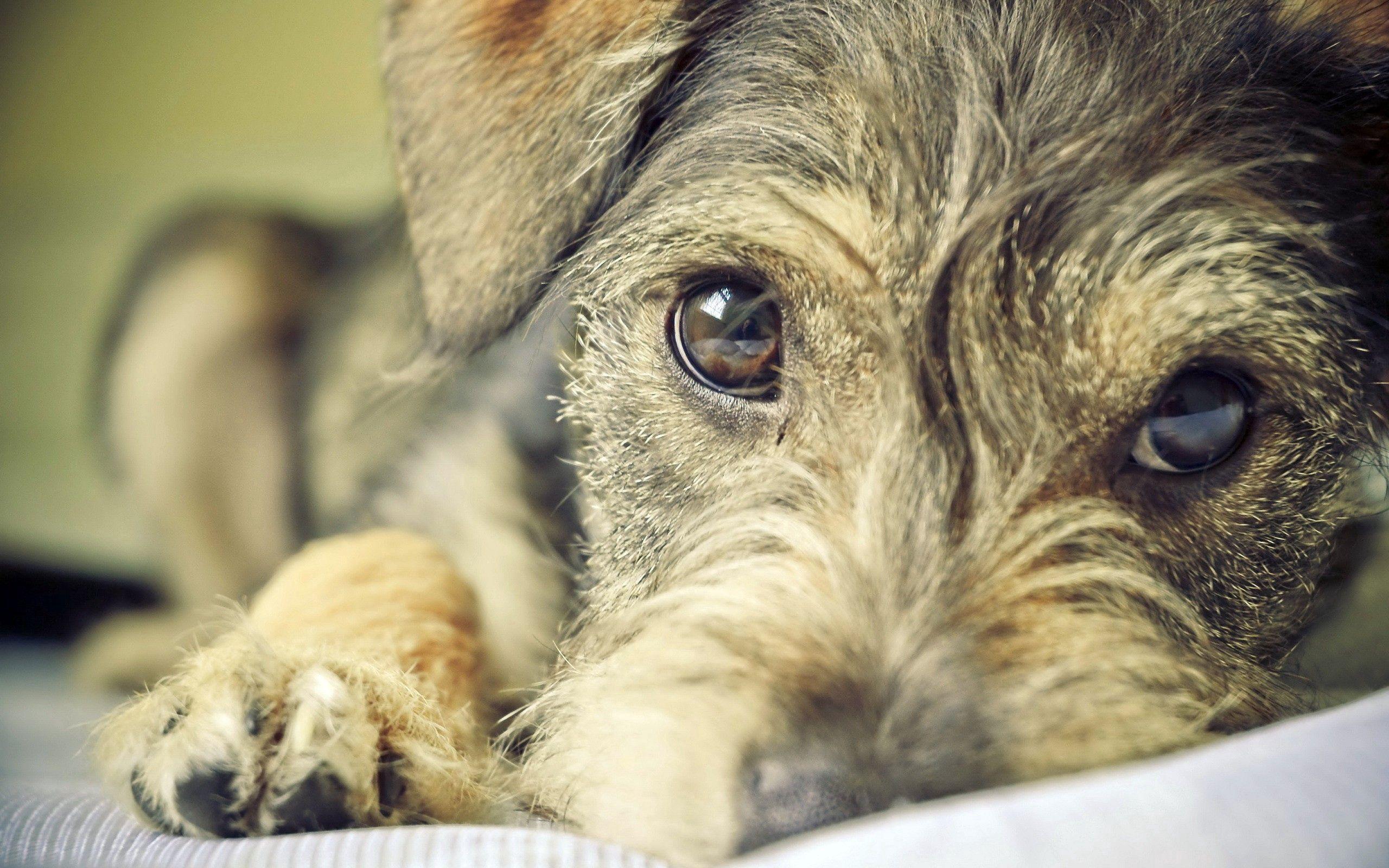 Handy-Wallpaper Tiere, Hund, Schnauze, Augen, Hündchen, Welpen kostenlos herunterladen.