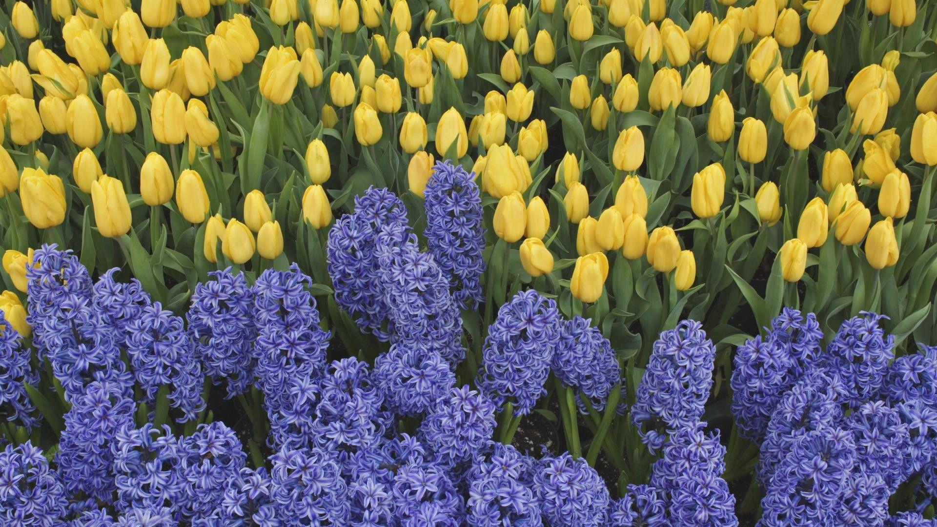 94601 скачать обои Тюльпаны, Цветы, Зелень, Клумба, Весна, Гиацинты - заставки и картинки бесплатно