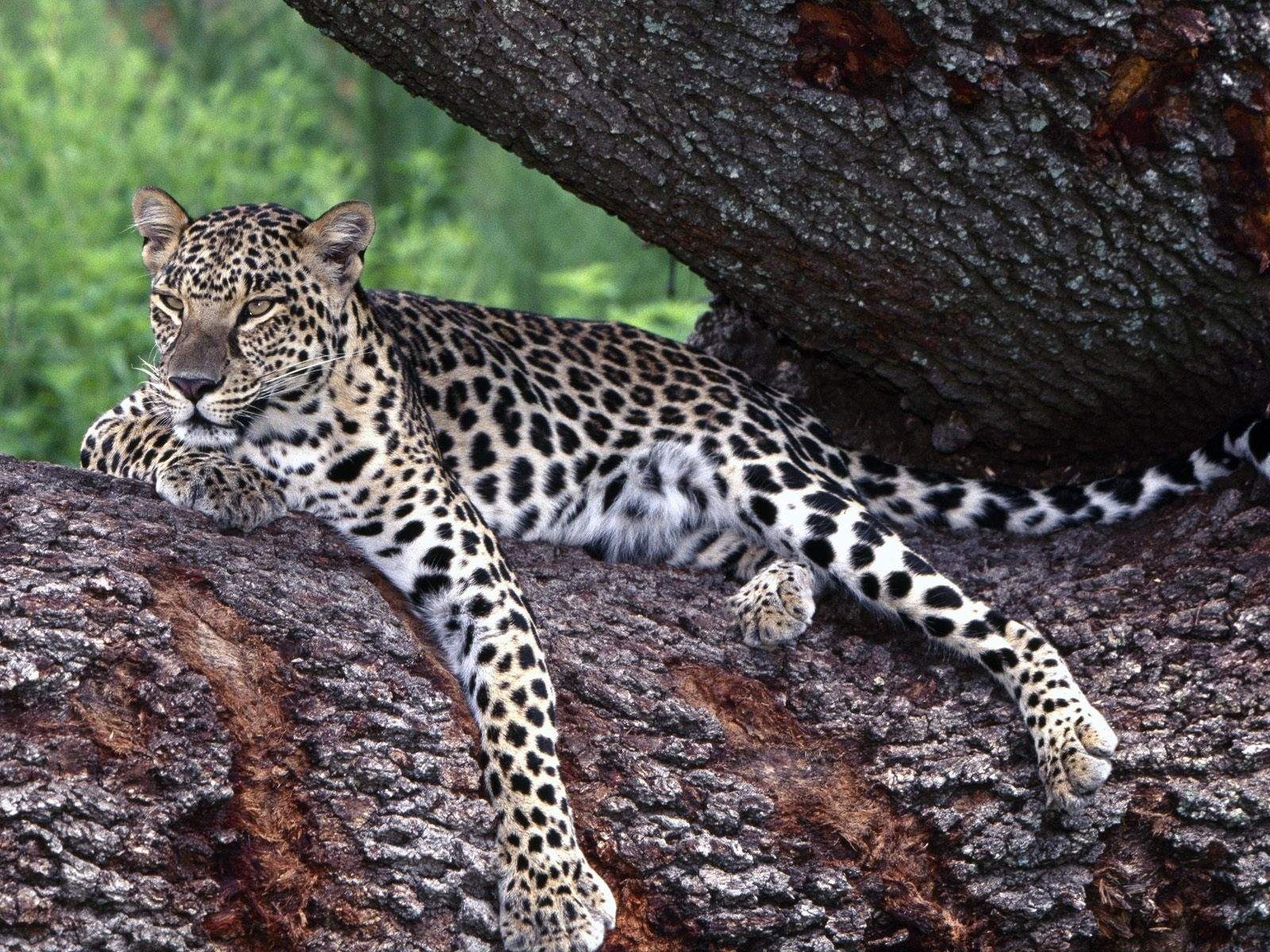 6098 download wallpaper Animals, Leopards screensavers and pictures for free