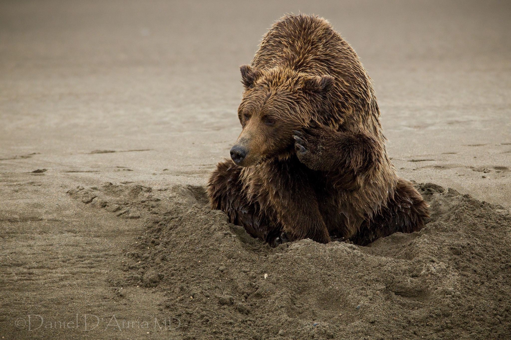 110594 Screensavers and Wallpapers Bear for phone. Download Animals, Sand, Sit, Wet, Bear pictures for free