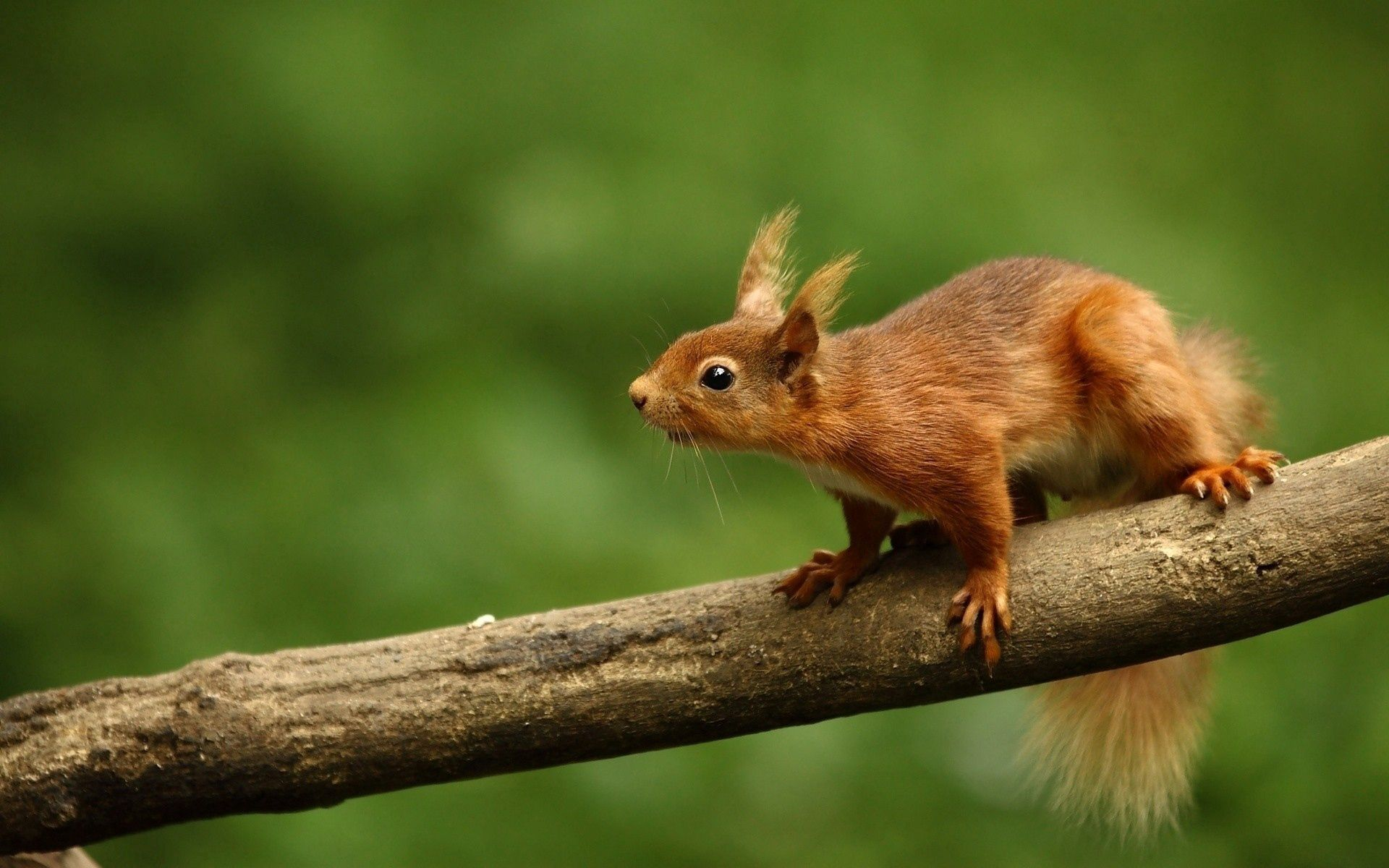 62781 download wallpaper Animals, Squirrel, Branch, Climb, Animal, Blur, Smooth screensavers and pictures for free