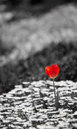 72168 скачать обои Цветы, Тюльпан, Ромашки, Растения, Чб - заставки и картинки бесплатно