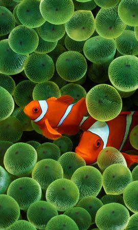 17095 download wallpaper Animals, Clown Fish screensavers and pictures for free