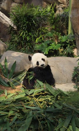102841 download wallpaper Animals, Panda, Bamboo, Funny, Animal screensavers and pictures for free