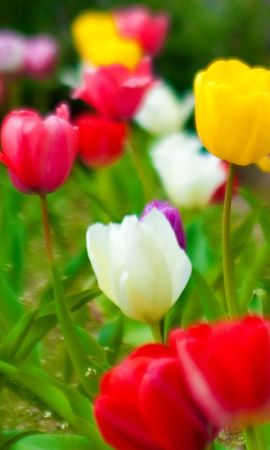 142760 baixar papel de parede Flores, Natureza, Tulipas - protetores de tela e imagens gratuitamente