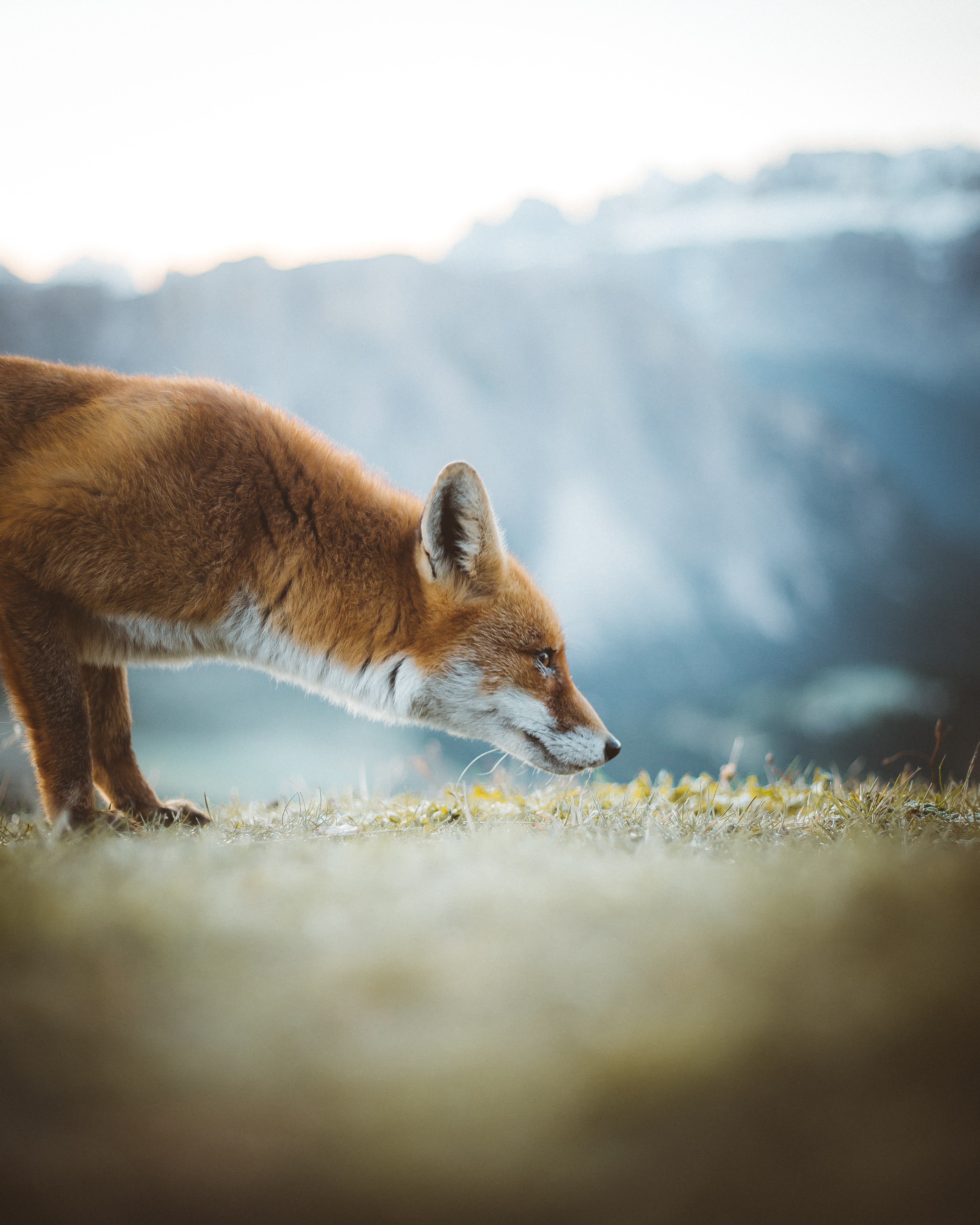 95494 Screensavers and Wallpapers Nose for phone. Download Animals, Fox, Ears, Profile, Nose pictures for free
