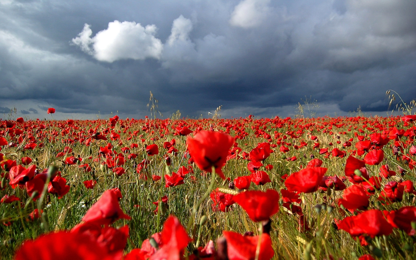 3334 download wallpaper Plants, Landscape, Flowers, Sky, Poppies screensavers and pictures for free