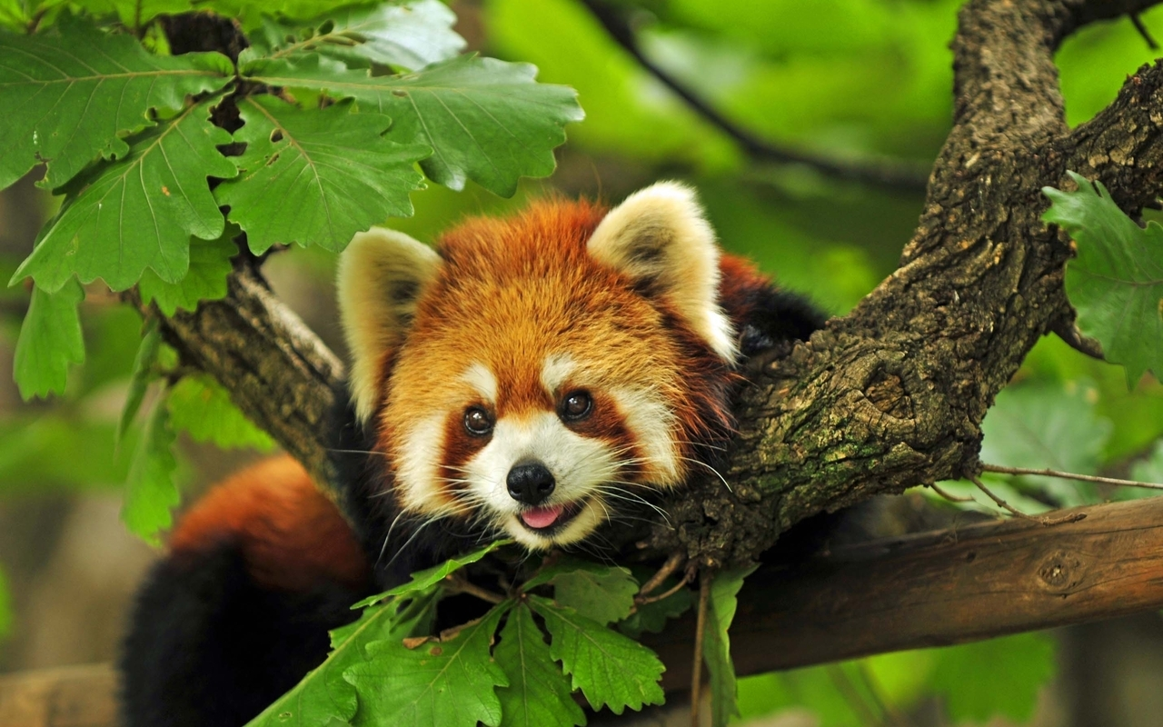 22500 download wallpaper Animals, Leaves, Pandas screensavers and pictures for free