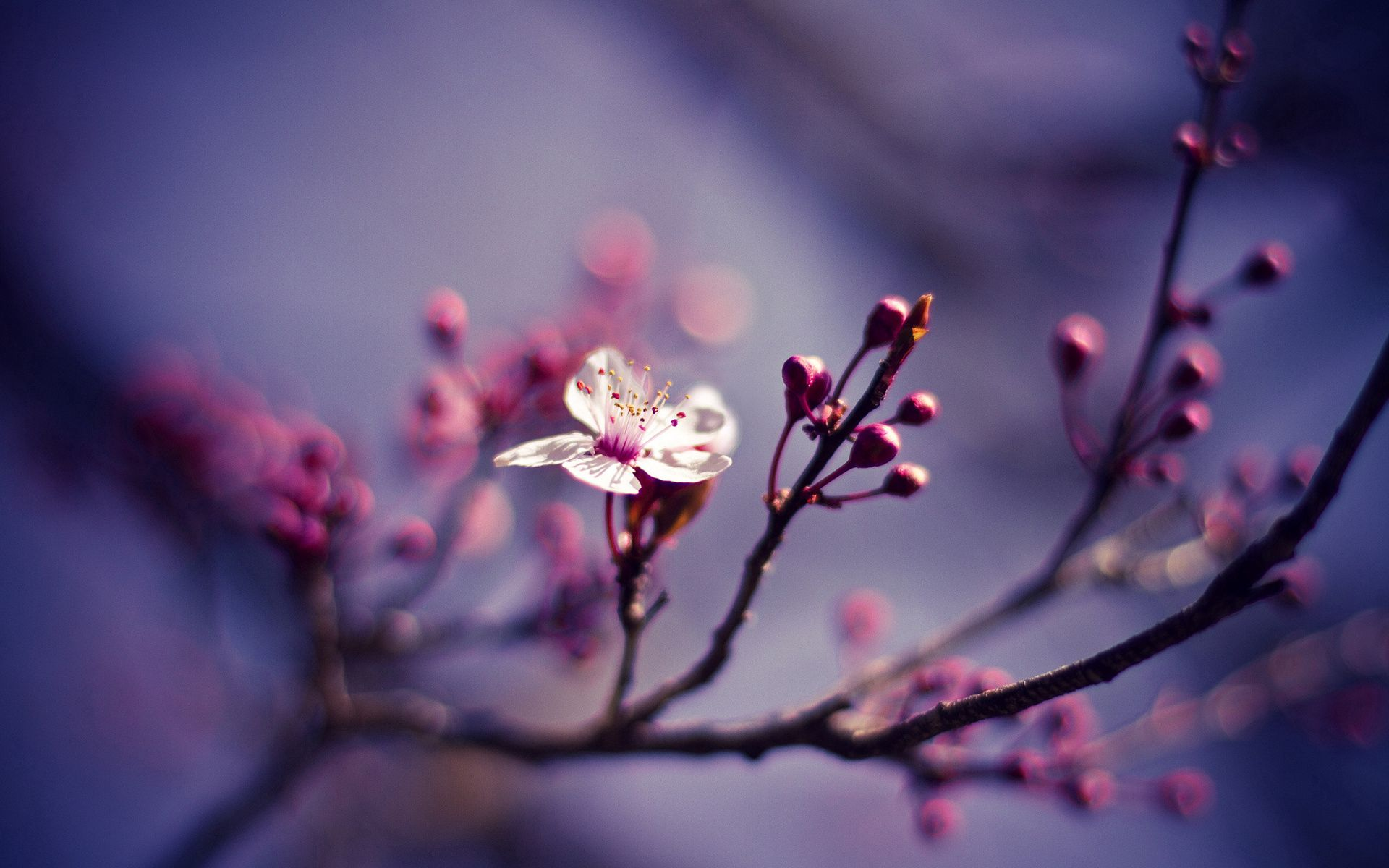86616 Заставки и Обои Вишня на телефон. Скачать Природа, Вишня, Цветок, Макро, Ветви картинки бесплатно