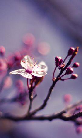 86616 скачать обои Макро, Ветви, Вишня, Природа, Цветок - заставки и картинки бесплатно