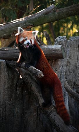 131443 download wallpaper Animals, Red Panda, Protruding Tongue, Tongue Stuck Out, Nice, Sweetheart, Funny screensavers and pictures for free