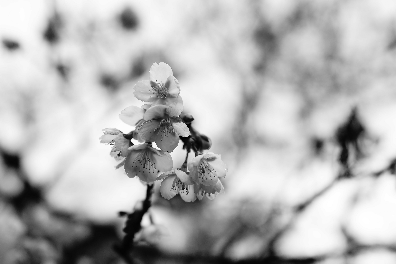 138153 Screensavers and Wallpapers Sakura for phone. Download Flowers, Sakura, Macro, Branch, Bw, Chb pictures for free