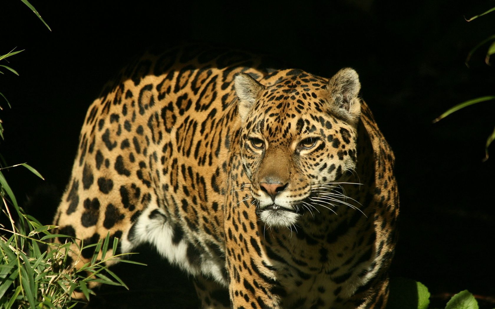 143453 download wallpaper Animals, Jaguar, Big Cat, Spotted, Spotty, Hunting, Hunt, Predator screensavers and pictures for free