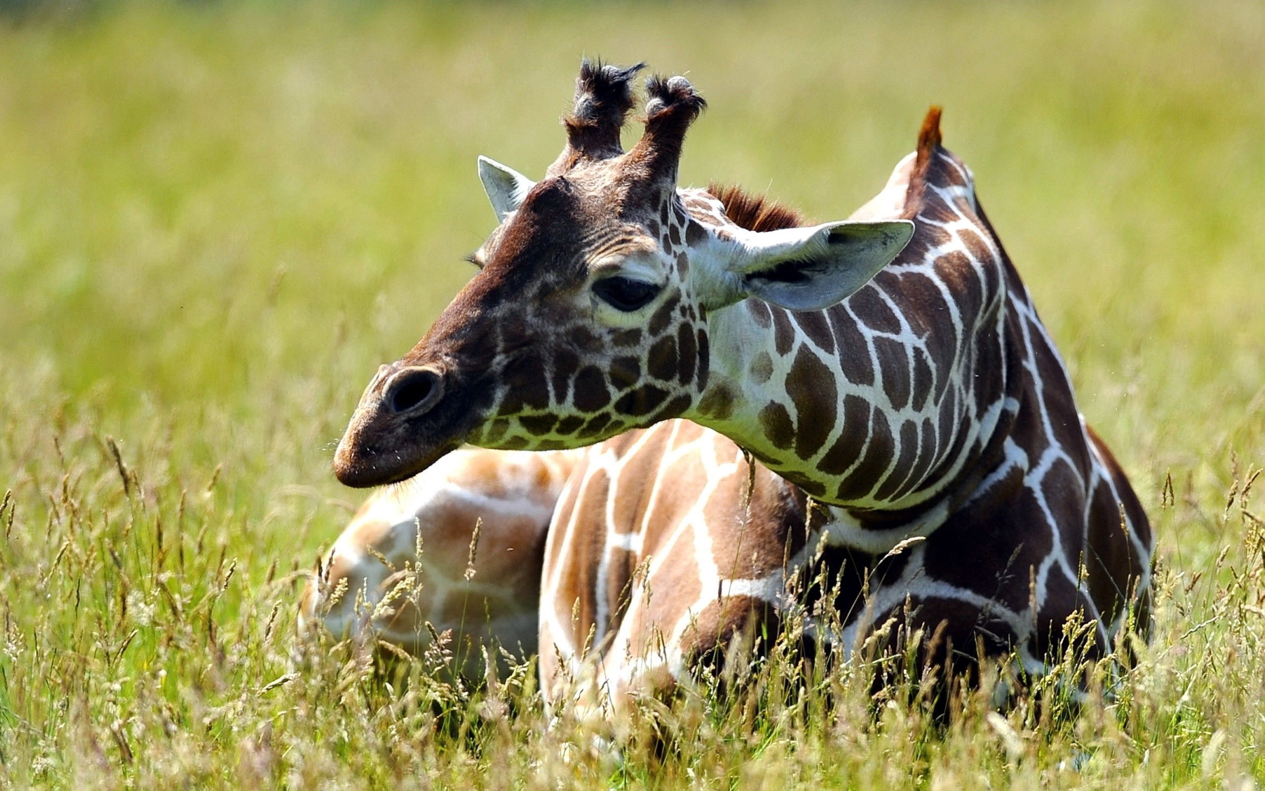 51084 免費下載壁紙 动物, 长颈鹿, 草, 坐, 坐下, 斑, 斑点 屏保和圖片