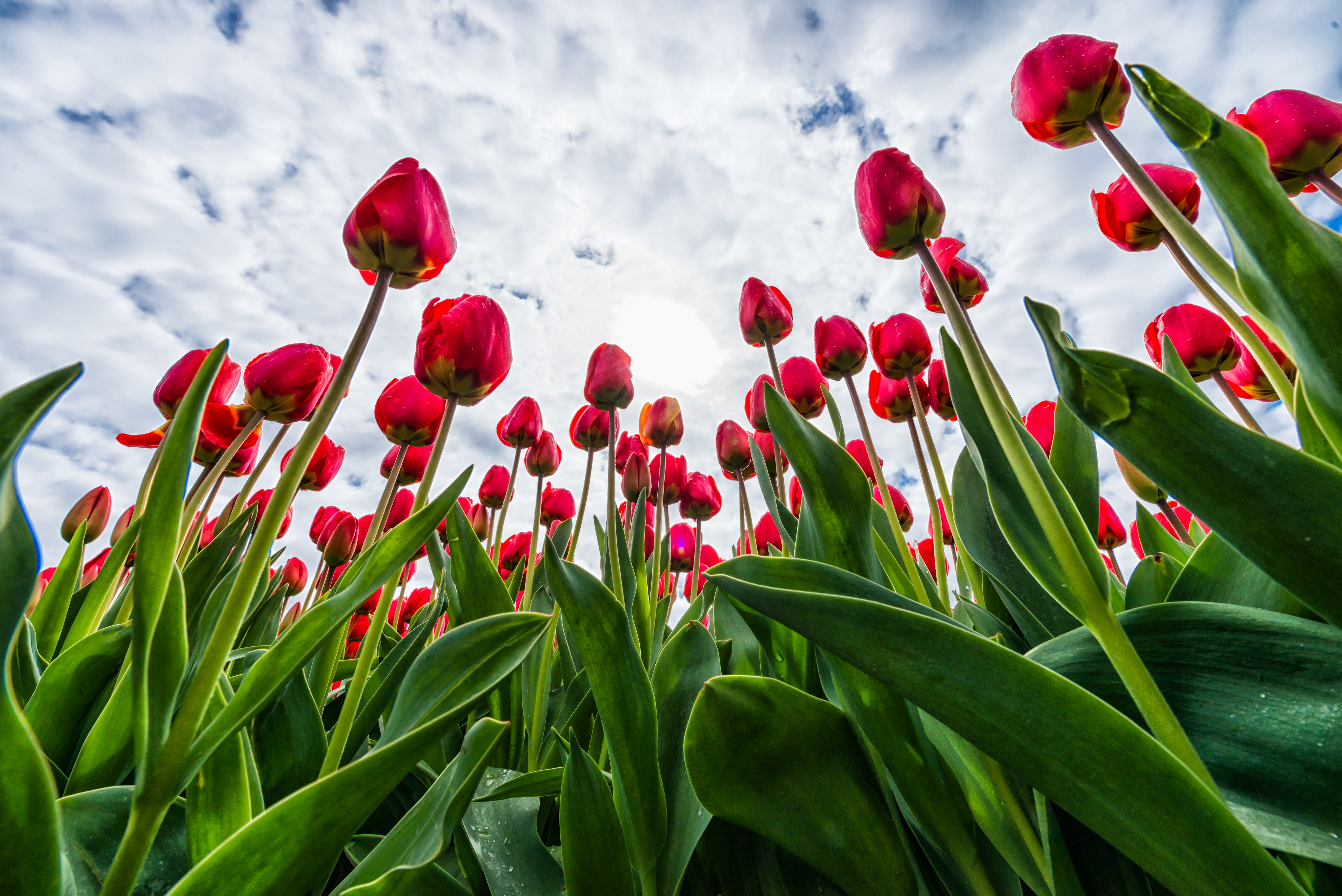 58669 Screensavers and Wallpapers Tulips for phone. Download Flowers, Sky, Tulips, Clouds pictures for free
