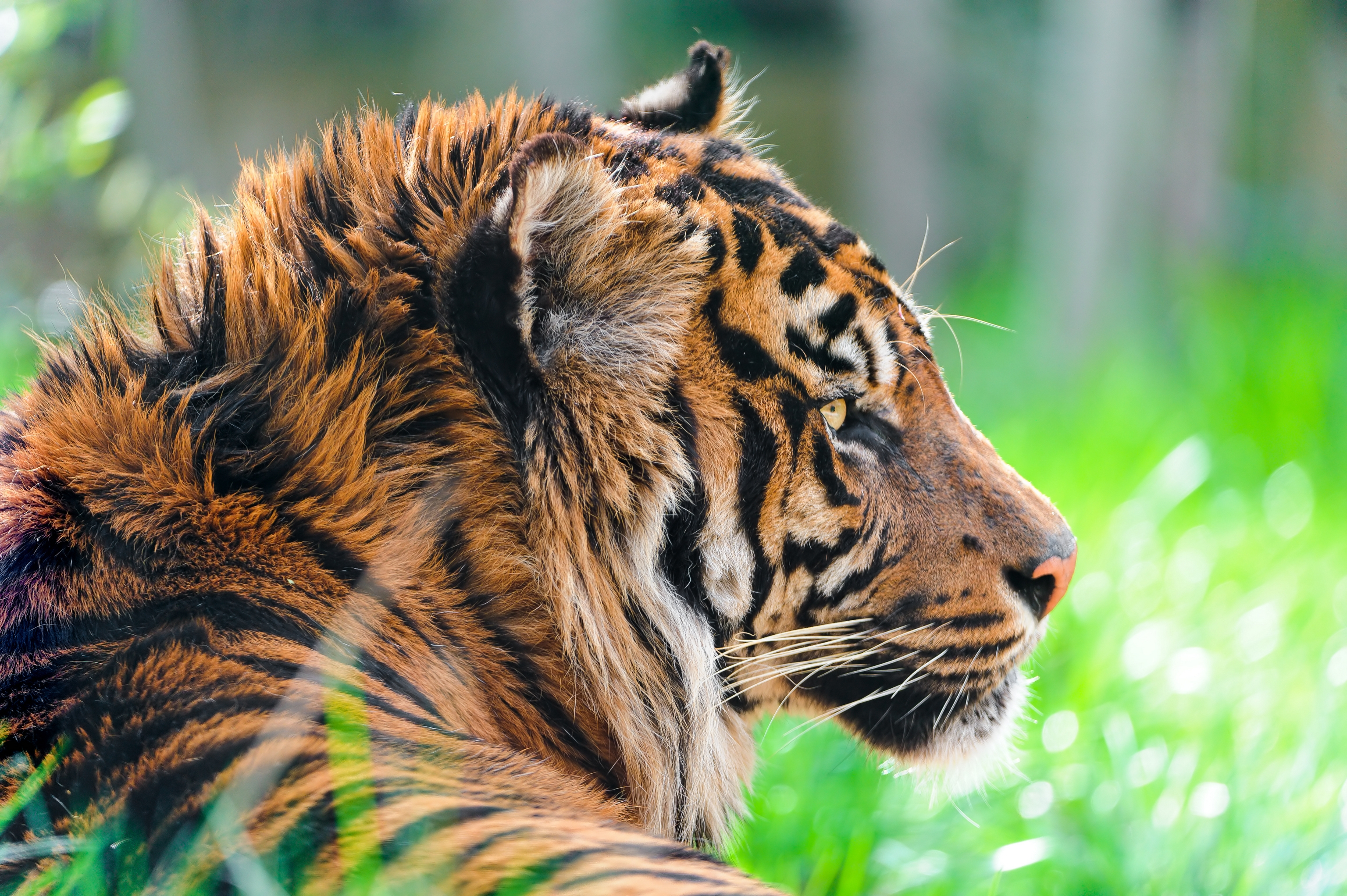 60656 download wallpaper Animals, Tiger, Predator, Grass, Wool, Profile screensavers and pictures for free