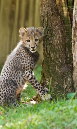117471 Screensavers and Wallpapers Funny for phone. Download Animals, Cheetah, Small Cat, Little Cat, Nice, Sweetheart, Funny pictures for free