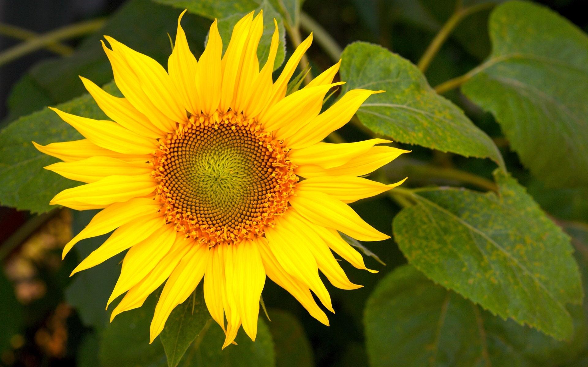 28745 免費下載壁紙 植物, 花卉, 向日葵 屏保和圖片