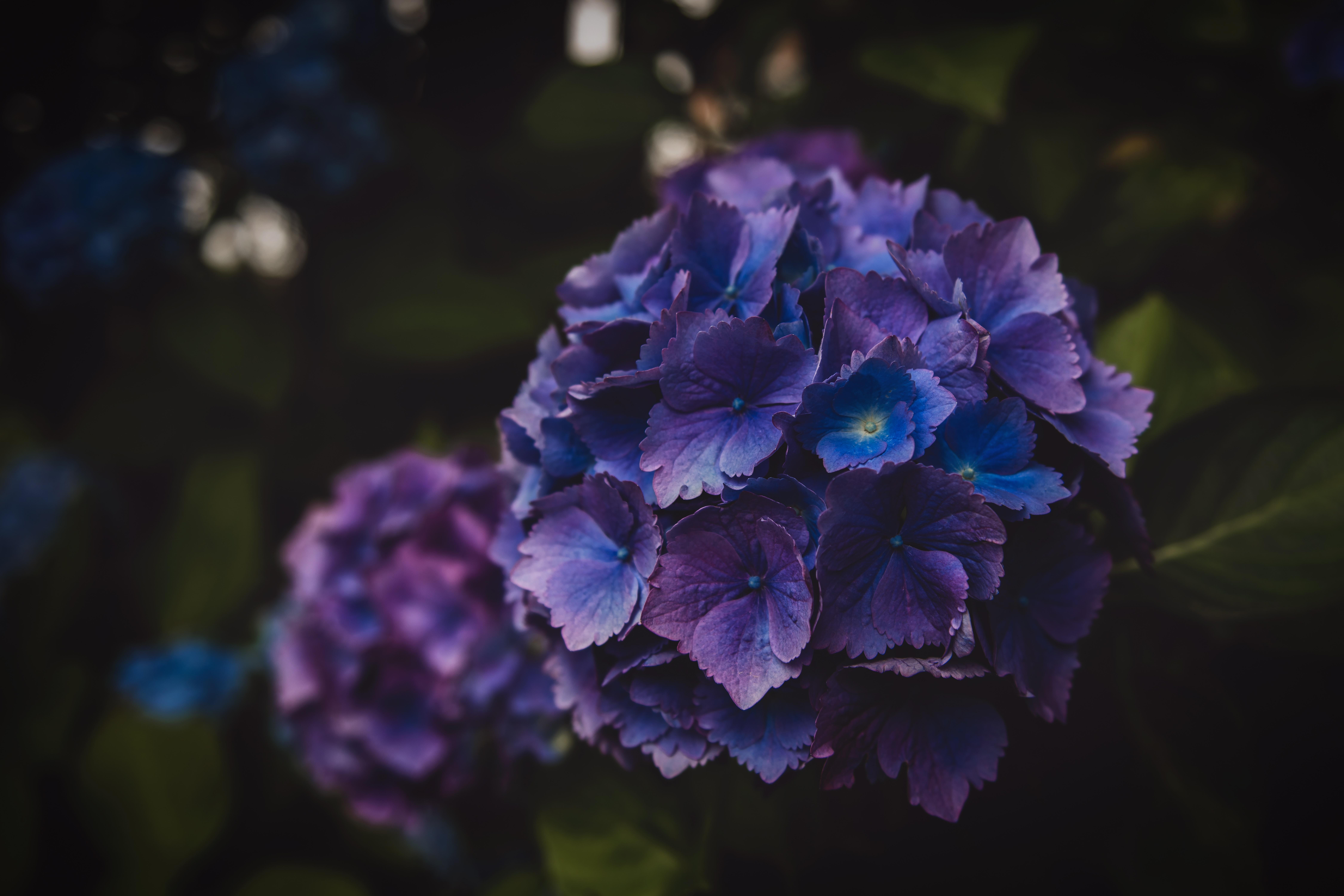 59023 скачать обои Макро, Гортензия, Фиолетовый, Соцветие, Цветы - заставки и картинки бесплатно