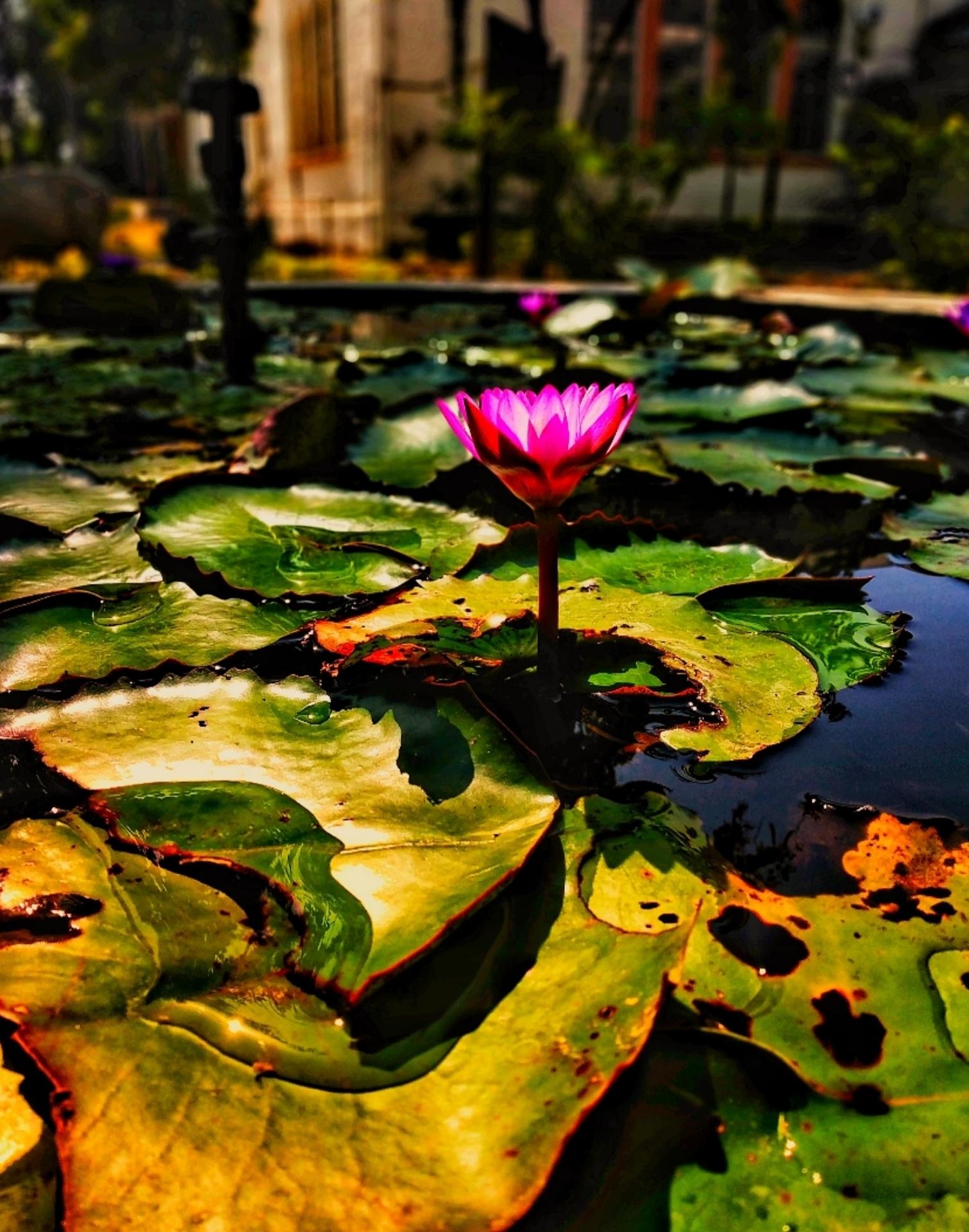 123444 Hintergrundbild herunterladen Blumen, Wasser, Blätter, Lotus, Blume, Seerose - Bildschirmschoner und Bilder kostenlos