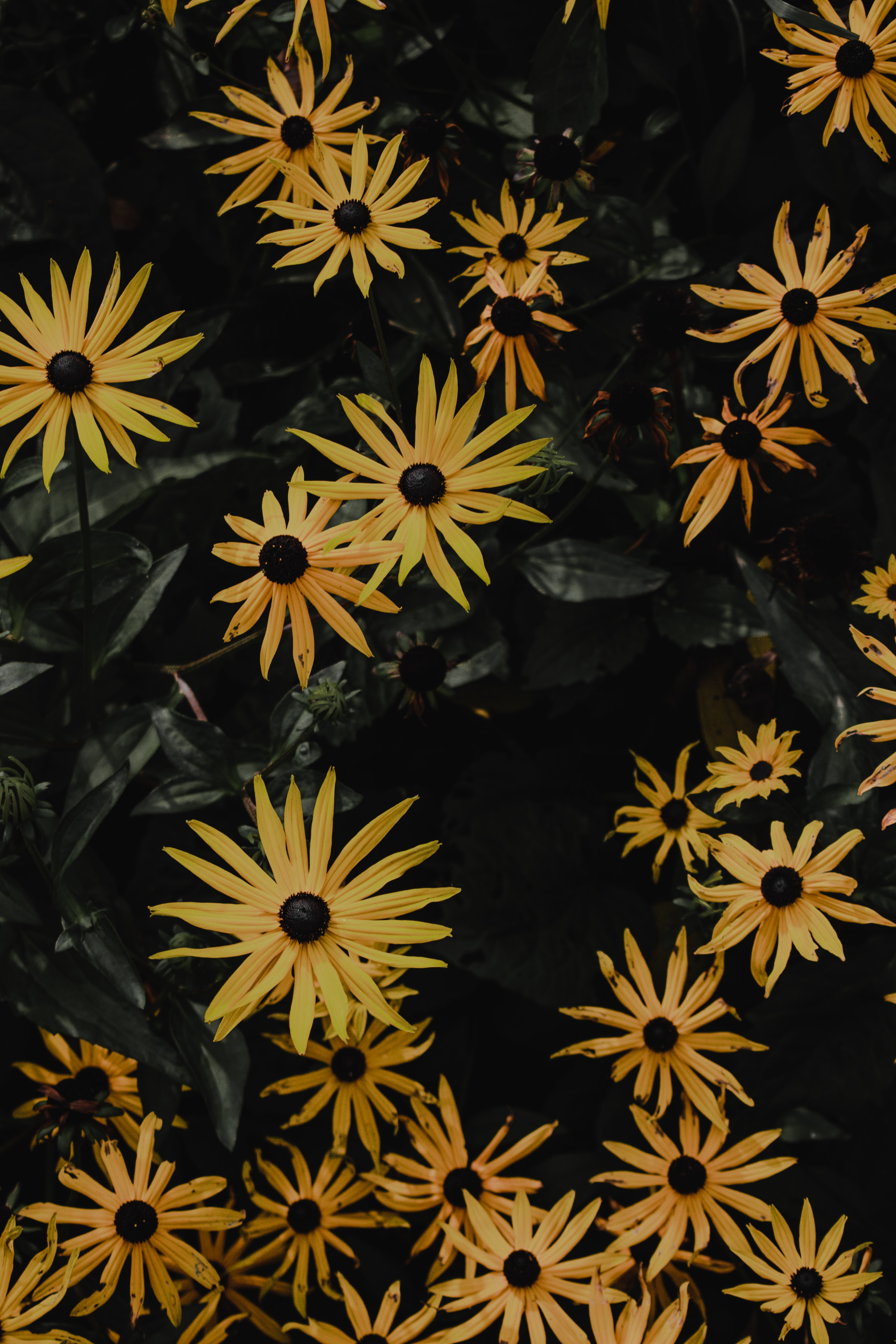 133090 download wallpaper Flowers, Chamomile, Camomile, Flower, Petals screensavers and pictures for free