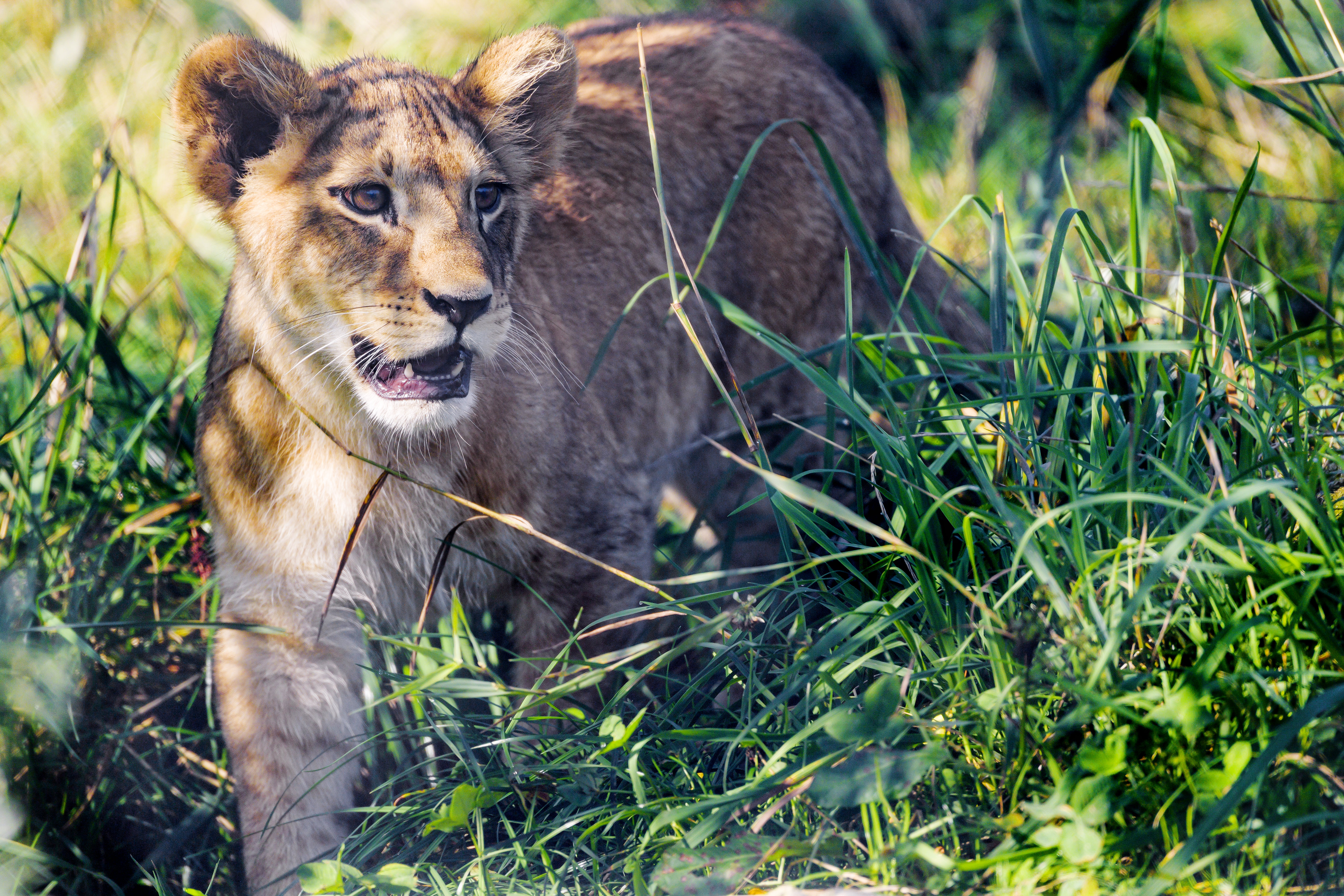 77126 download wallpaper Animals, Lion Cub, Lion, Young, Joey, Grass, Predator, Animal screensavers and pictures for free