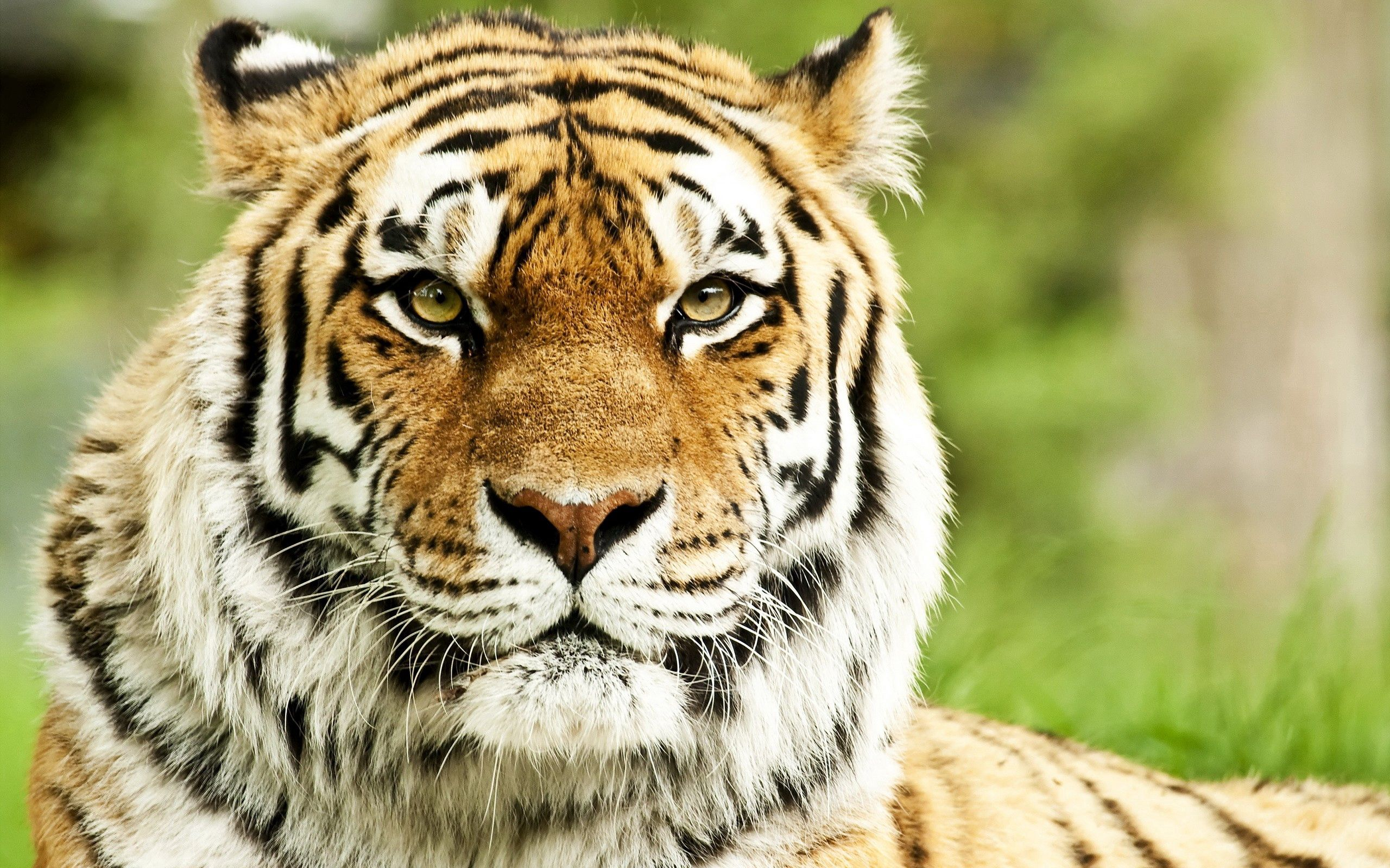 157707 download wallpaper Animals, Tiger, Muzzle, Predator, Striped, Sight, Opinion, Big Cat screensavers and pictures for free