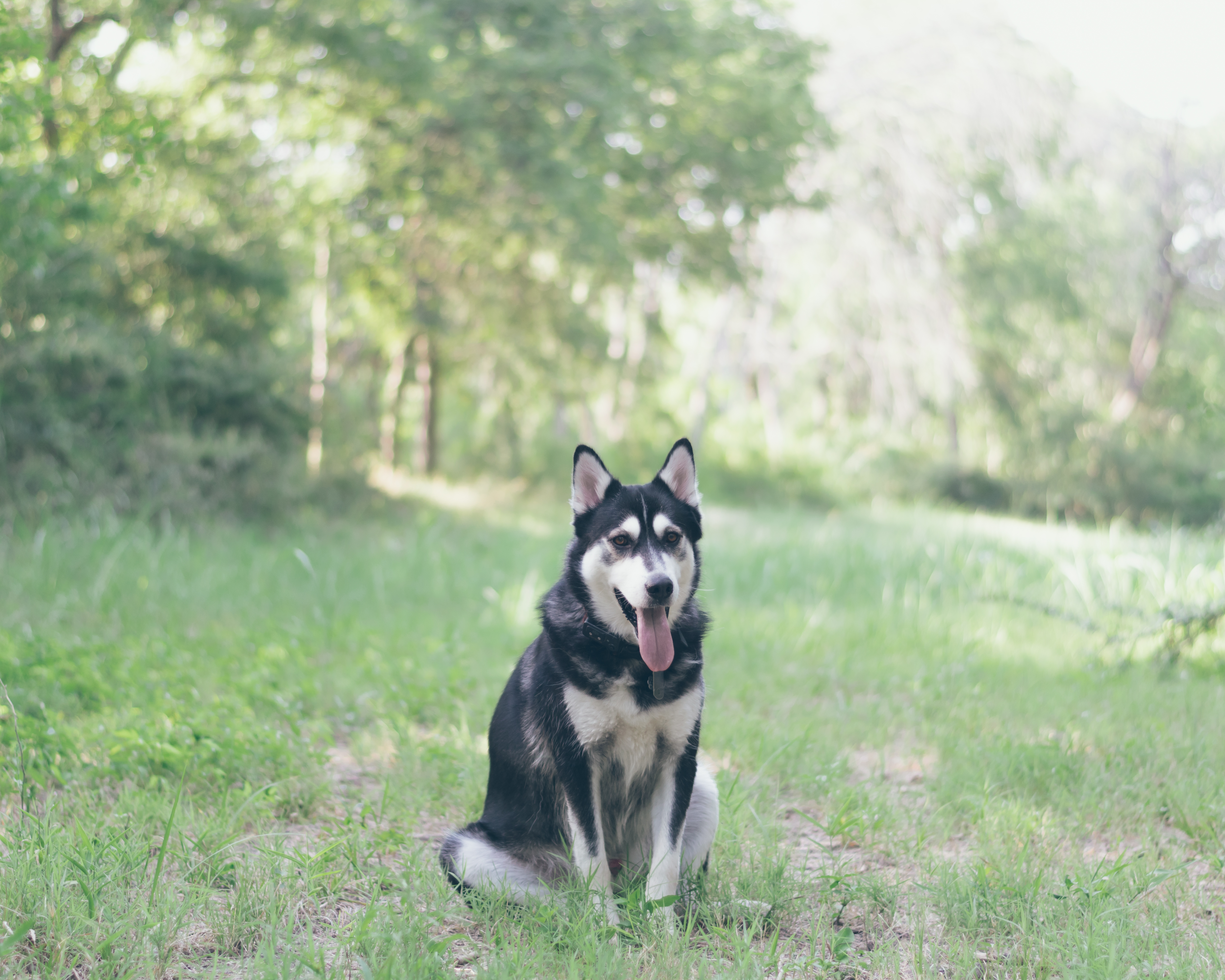 156327 download wallpaper Animals, Husky, Haska, Dog, Grass, Is Sitting, Sits screensavers and pictures for free