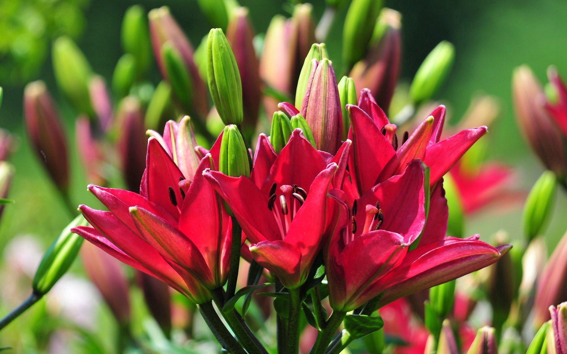 130801 скачать обои Цветы, Лилии, Тычинки, Бутоны, Солнечно, Лето - заставки и картинки бесплатно