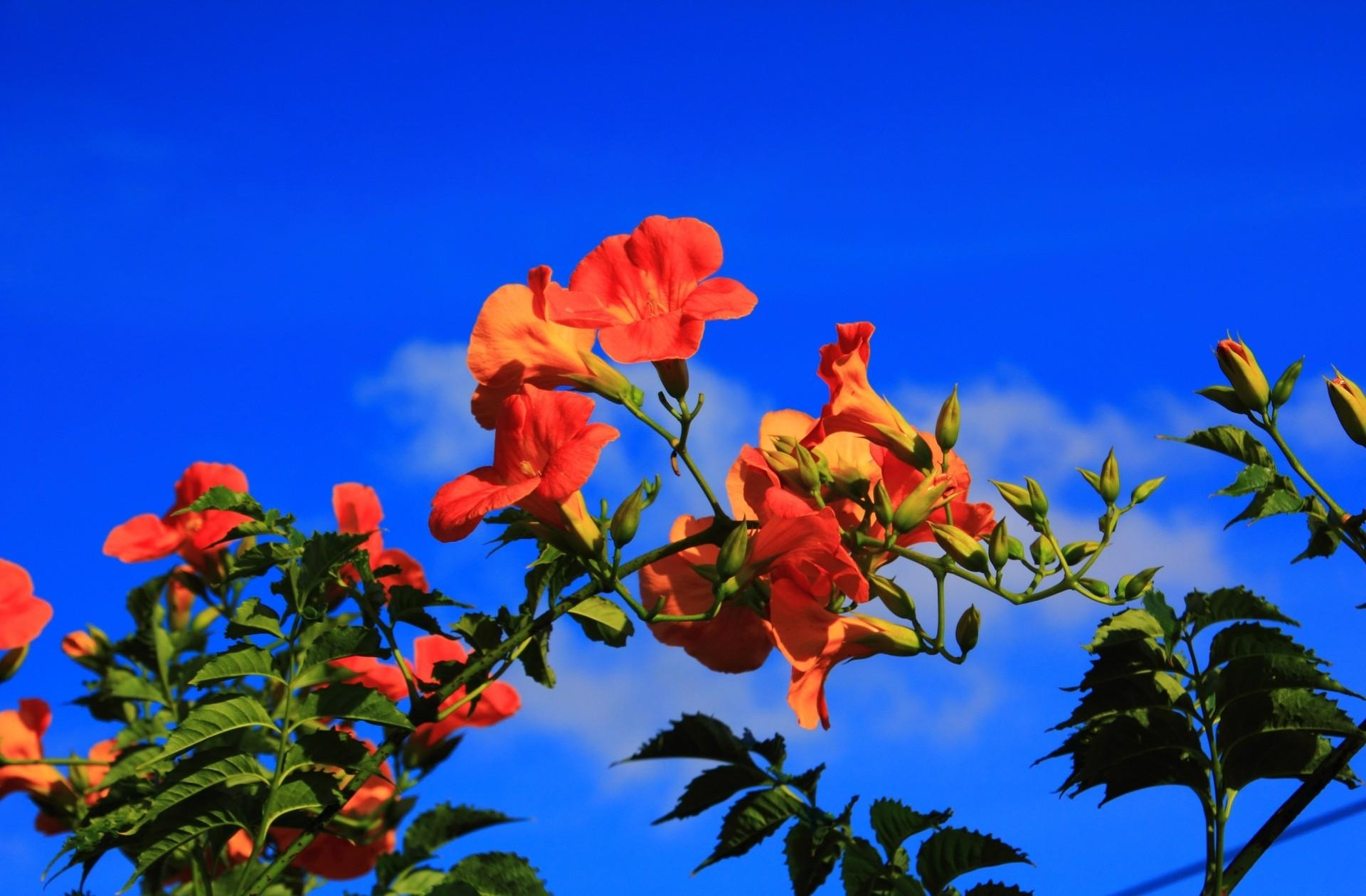 154490 скачать обои Цветы, Гибискус, Цветение, Небо, Ветки, Синева - заставки и картинки бесплатно